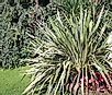 What Is Sisal (Agave sisalana)?