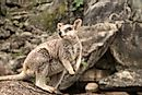 Wallaby Facts: Animals of Oceania