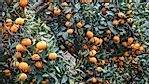 Countries Growing the Most Mandarins in the World