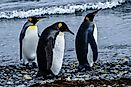 Emperor Penguin Facts: Animals of Antarctica
