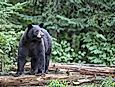 Black Bear Facts: Animals of North America
