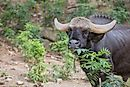 Gaur Facts: Animals of Asia