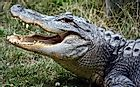 What Is the Difference Between an Alligator and a Crocodile?