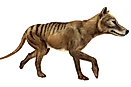 What Factors Are Blamed For The Extinction Of The Tasmanian Tiger?