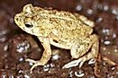 Amphibian Species Of Egypt