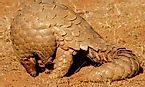 How Many Types Of Pangolins Are There? Why Are These Animals Dying?