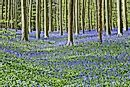 Hallerbos - The Unique Blue Forest Of Belgium