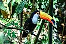 Toco Toucan Facts - Animals of South America