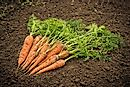 The Countries Growing the Most Carrots and Turnips in the World
