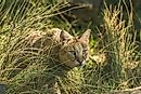The Ten Species Of Small Wild Cats Found In Asia