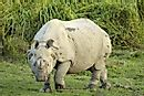 Indian Rhinoceros Facts: Animals of Asia