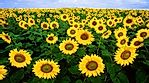The Top Sunflower Seed Producing Countries In The World