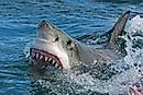 How Common Are Shark Attacks?