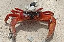 Christmas Island Red Crabs - Animals Of Oceania
