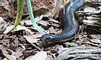 Taipans - Australia's Deadly Snakes: How Many Types Are There?