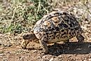 Native Reptiles Of Sudan