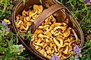Types of Edible Wild Mushrooms