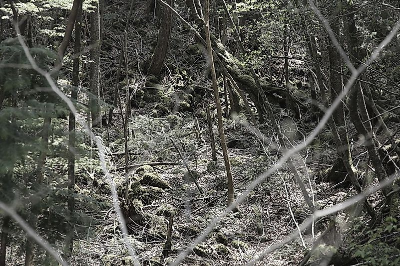 Did You Know The Mysterious Aokigahara Forest Is Also Known As The Suicide Forest?