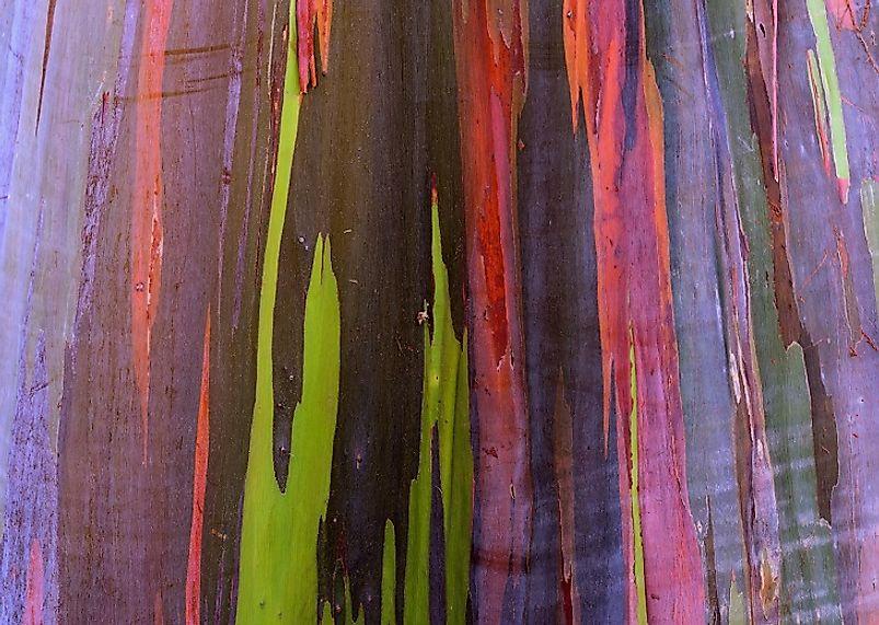 What Is The Rainbow Eucalyptus?