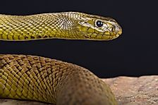 The Most Venomous Snakes In The World
