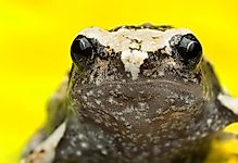 Native Amphibians Of The Philippines