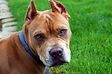 10 Myths And Facts About Owning A Pitbull