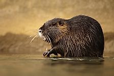 What the Return of the Nutria Means for California