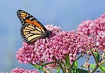 Help Rebuild Monarch Butterfly Populations By Planting Monarch-Friendly Gardens