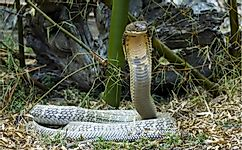 8 Interesting Facts About The King Cobra