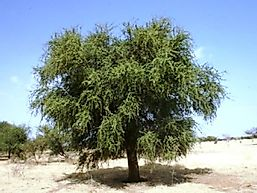 Native Plant Species Of Libya