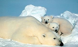 Threatened Mammals Of Greenland