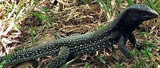 Native Reptiles Of Venezuela
