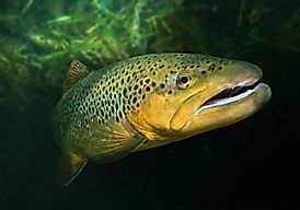 Native Fish Species Of Mongolia
