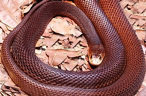 10 Deadliest Snakes Of Australia