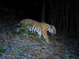 A Major Victory For Tiger Conservation As New Tigers Found In Western Thailand
