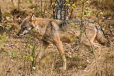 Eurasian Wolf Facts: Animals of Europe