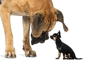 The World's Largest Dog Breeds