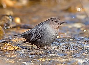 Water Ouzel Facts: Animals of North America