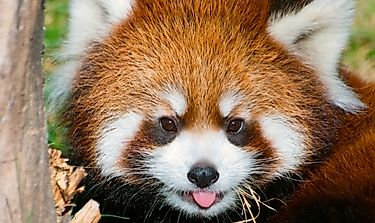 Red Panda Facts: Animals of Asia