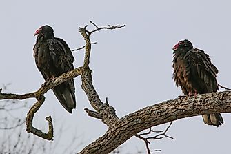 The Seven Species Of New World Vultures
