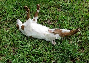 Why Do The Fainting Goats Faint?