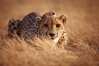 Cheetah Facts - Animals of the World