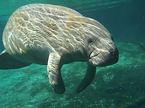 Are Manatees Endangered?
