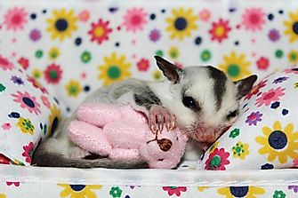 Is It Legal To Keep A Sugar Glider As A Pet?