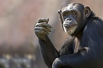 Population And Distribution Of Chimpanzees: Important Facts And Figures