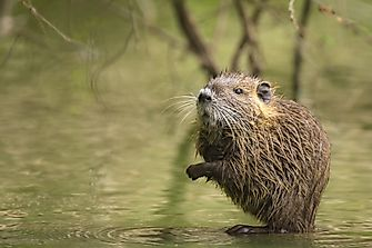 Muskrat Facts - North American Animals