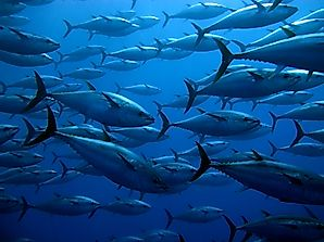 Why And When Is World Tuna Day Celebrated?