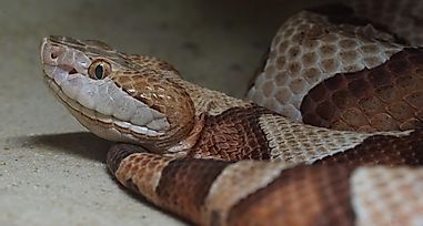 10 Facts About the Copperhead Snake