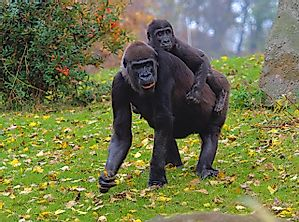 Why Do Gorillas Walk On Their Knuckles?