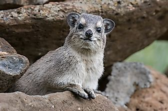 Hyrax Facts: Animals of Africa